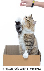 Cute little cat in a cardboard box on isolate white background and eating a snack cat.