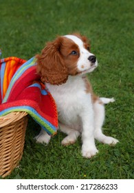 Cute little Cavalier King Charles Spaniel posing for the camera