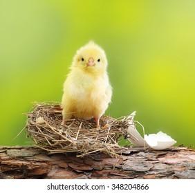 Cute little chicken and nest