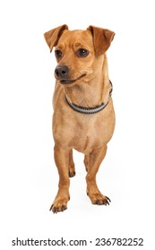 A cute little Chihuahua crossbreed dog standing and looking forward