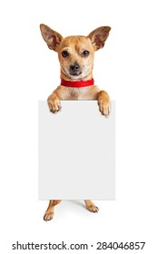 Cute little Chihuahua crossbreed dog wearing a red collar standing up and holding a blank white sign in his paws