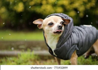 Cute little chihuahua dog in winter jacket first time experiences snow.