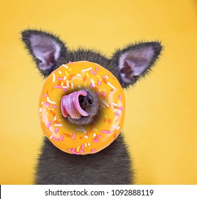 cute little chihuahua licking his nose on a bright yellow background studio shot