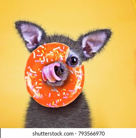 cute little chihuahua licking his nose with an orange donut covered in sprinkles on a bright yellow background studio shot