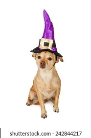 A cute little Chihuahua mixed breed dog sitting and wearing a witch hat