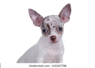 Cute little chihuahua puppy, portrait on white background