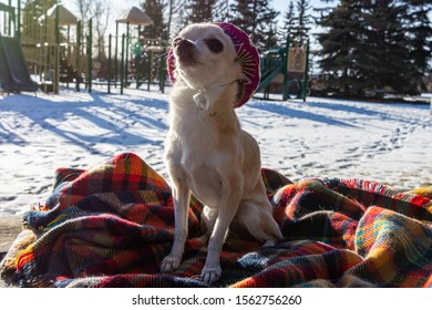 Cute, little chihuahua sitting on a blanket wearing a pink sombrero.