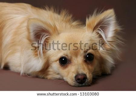 Cute Little Chihuahua Pomeranian Mix Dog On Stockfoto Jetzt