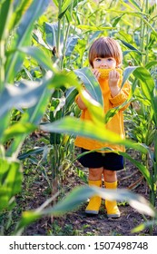 Cute little child eating boiled yellow sweet corncob in green corn field outdoors. Autumn lifestyle. Homegrown organic food. Vegan children nutrition