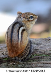 Cute little chipmunk looking to the right