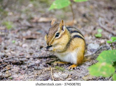 Cute little chipmunk stuffing its cheeks with nuts and seeds, Canada