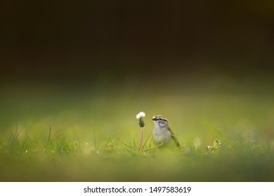 A cute little Chipping Sparrow pulling seeds out of this Dandelion flower with a smooth green and brown background.