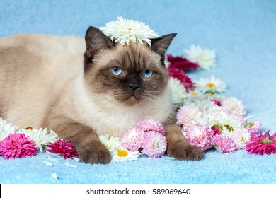 Cute little color point kitten sitting on chamomile flowers