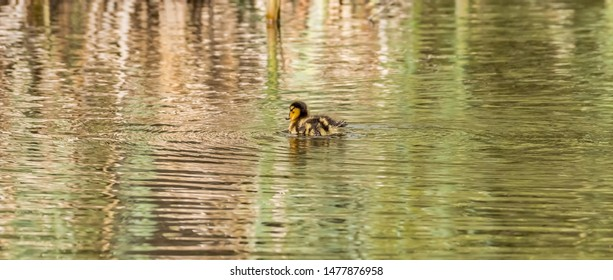 Cute little colorful baby duckling Mallard wild duck (Anas platyrhynchos, Anatidae). Young waterbird with brown speckled plumage in green lake water, beautiful reflections. Natural scene, wildlife.