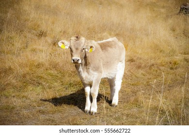 Cute little cow