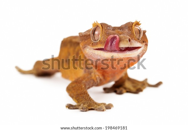 A cute little crested gecko licking his lips with selective focus on his tongue and mouth