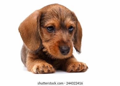 cute little dachshund puppy on white background