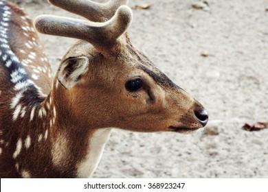 cute little deer at  Prambanan