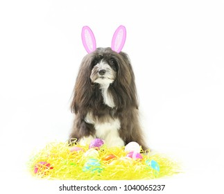 A cute little dog is celebrating Easter holiday with colored Easter eggs and little pink bunny ears.