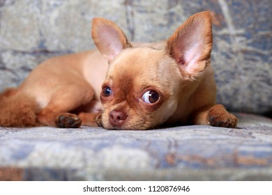 Cute little dog Chihuahua lies on the couch