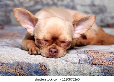 Cute little dog Chihuahua sleep on the couch