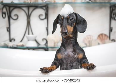 A cute little dog dachshund, black and tan, taking a bubble bath with his paws up on the rim of the tub