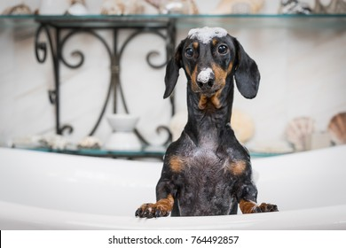 A cute little dog dachshund, black and tan, taking a bubble bath with his paws up on the rim of the tub. lather on the head and nose of a puppy