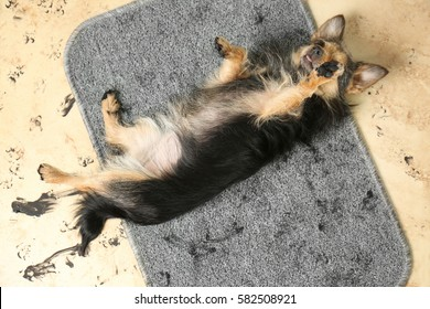 Cute little dog with dirty trails on rug on the floor