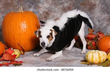 Cute little dog in Halloween costume