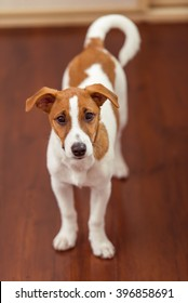 Cute little dog is looking at camera while standing on wooden floor in a room