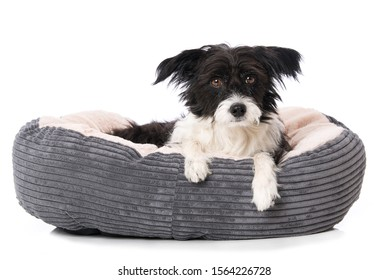 Cute little dog lying in a dog bed isolated on white and looking to the camera