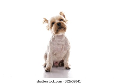 cute little dog on a white background great for animals and goods advertising