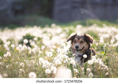 Cute little dog posing on the meadow full of fluffy dandelions.