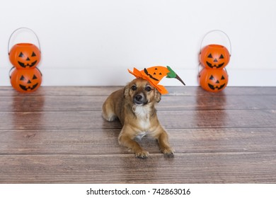 cute little dog siting on the wood floor with a costume pumpkin. Halloween concept. Indoors.