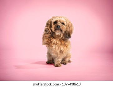43959bee7cb5c cute little dog sitting and waving in front of pink background