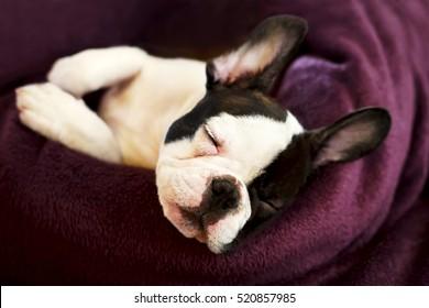 cute little dog sleeps in bed