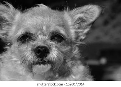 A cute little dog that looks a bit like Yoda from Star Wars.