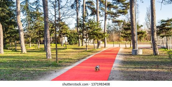 Cute little dog walks the red carpet