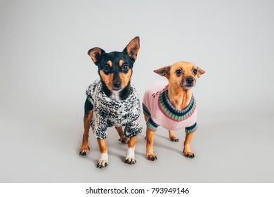 Cute little dogs posing for camera in studio