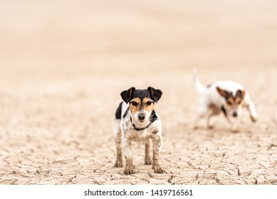 Cute little dogs are running over sandy ground and have fun. Two Jack Russell Terriers