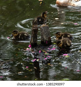 cute little ducklings.  living creatures normally produce more offspring than can be expected to survive to reproductive maturity