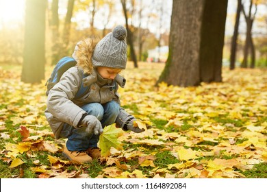 Cute little elementary schoolboy picking up yellow maple leaves from ground in park