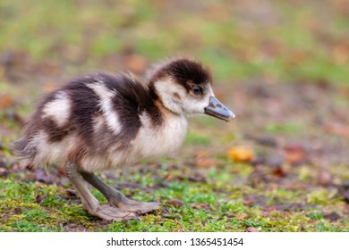 Cute little fledgling of an egyptian goose searching for food