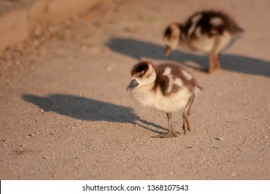 Cute little fledglings of an egyptian goose searching for food in the morning sun in spring in a park
