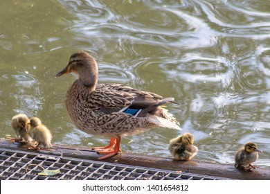 Cute little fledglings wait for their duck mother at a lake on a tree branch