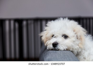 Cute little fluffy white toy breed dog resting its chin on the back of a sofa as it relaxes indoors at home with copy space