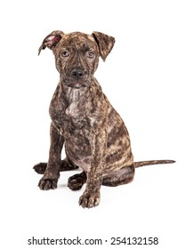Brindle Pit Bull Images Stock Photos Vectors Shutterstock