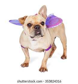 Cute little French Bulldog breed dog wearing a butterfly costume