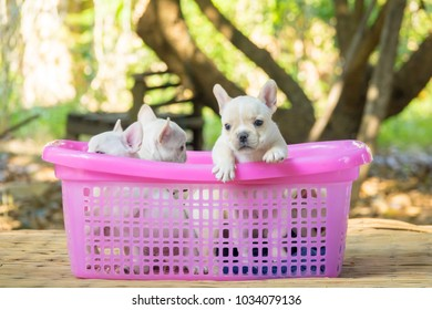 Cute little French bulldog on pink basket, close-up shot.