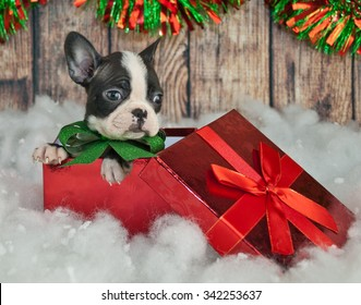 Cute little French Bulldog puppy sitting in a gift box in snow, with Christmas decor around him.